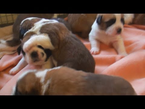 Puppies First Time Together - Adorable Little Saint Bernard Puppy Dogs! CUTE!