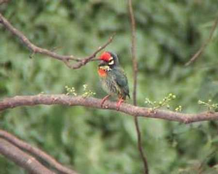 Coppersmith Barbet 2 Video