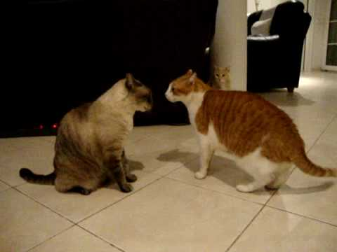 Cats arguing! the best cat video you ll ever see!!