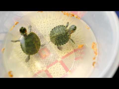 Чем кормят маленькую красноухую черепаху в домашних условиях 882