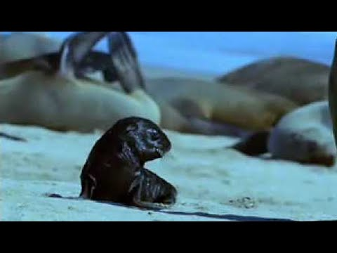 Cape fur seal pups v black back jackalls - Dune - BBC wildlife