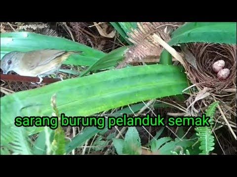 Download Suara Burung Planduk Video dan Lagu MP3 - Harian Video b1e5d70bad