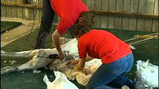 Commercial Alpaca Shearing