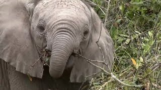 SafariLive- Baby elephants are always cute!