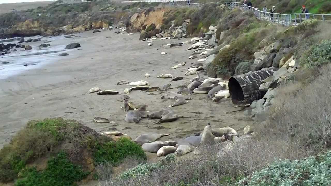 Elephant Seals Big Sur Elephant Seals at Big Sur
