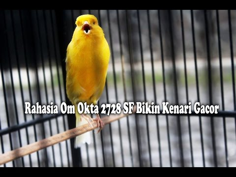 SUARA BURUNG : Tips Sederhana Om Okta 2728 SF Bikin Kenari Jadi Gacor