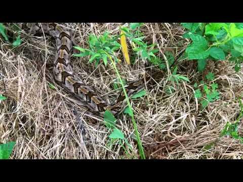 Timber Rattlesnake (canebrake) In Cumming Georgia. video