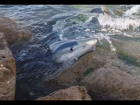 Tiburón en la playa de L'Alguer en L'Ametlla, Tarragona / Shark in the beach, Tarragona, Spain