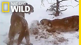 Watch How Pumas Fight, Keep the Peace, and Share a Meal   Nat Geo Wild