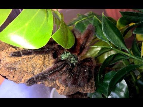 Avicularia versicolor Rehousing (Into a Custom Brooklyn Bugs enclosure!)