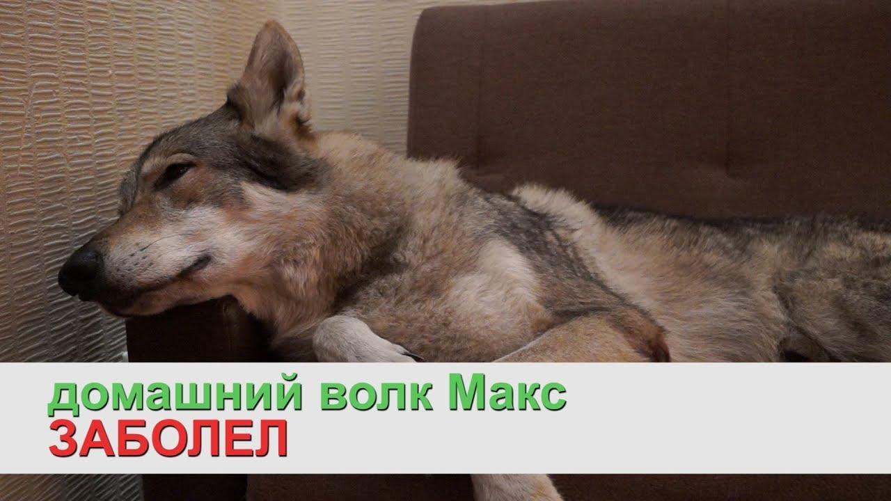 Домашний волк макс