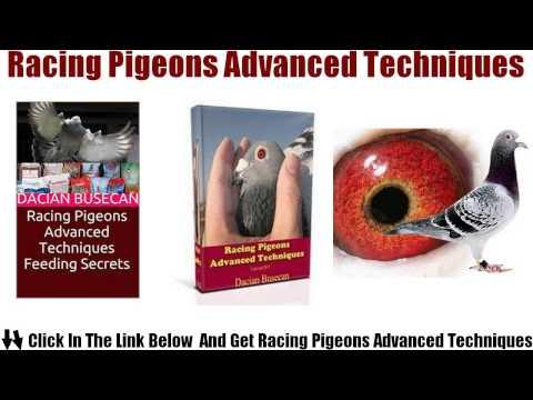 Racing Pigeons  Advanced  Techniques Review