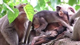 MONKEY LIFE, WATCH FAMILY SIKA ON THE TREE / POPULAR DAILY