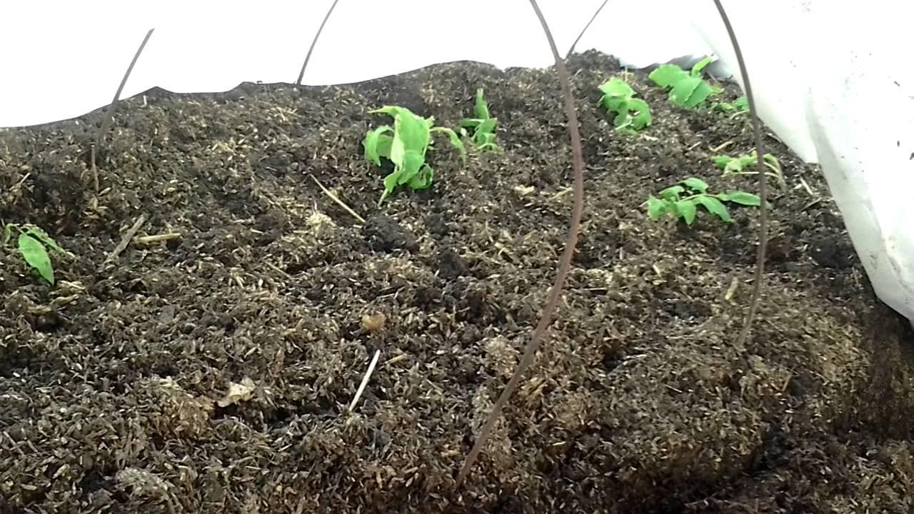 Выращивание помидоров под пленкой 99