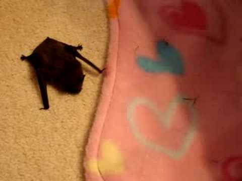 Tiny pipistrelle bat found on the driveway Video