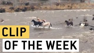 Brave horses narrowly escape danger crossing a flooded river