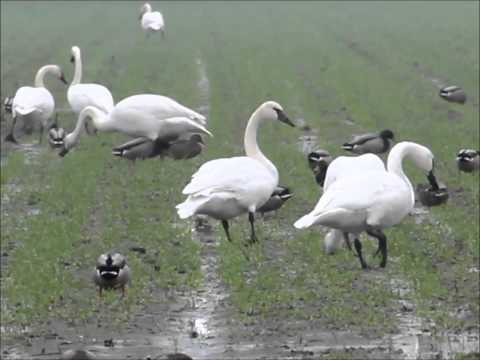 Swans on the Sumas Flats