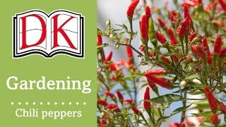 Gardening: How to Grow Chili Peppers