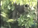 Wildlife Conservation Society Finds Mother Lode of Gorillas