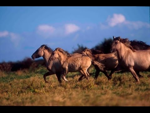 The Wild Horses that are Rewilding Britain