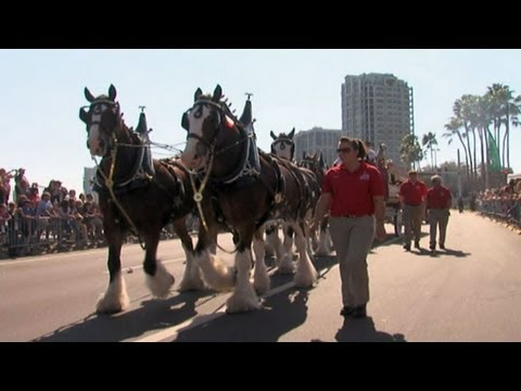Person of the Week: Budweiser Clydesdales Team