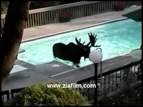 Moose enjoys swmming pool