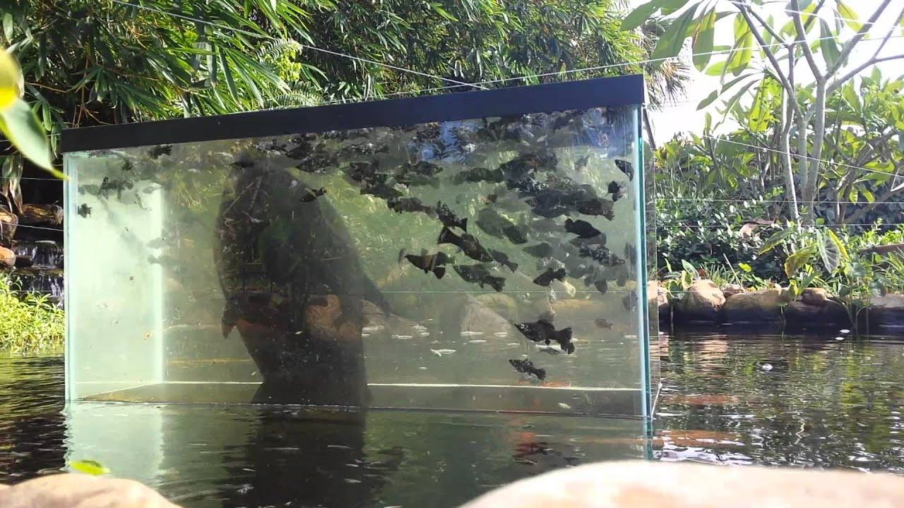 Feeding time youtube for How to make koi pond water clear