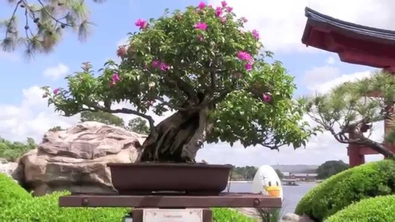 Backyard Bonsai Display : Epcot Bonsai Display  Flower and Garden Festival 2014  YouTube