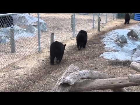 cute bear cubs show off for the camera