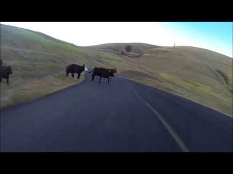 Cow gets hit by Longboarder at Maryhill