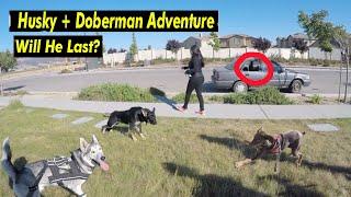 Awkward Looking Doberman Helps German Shepherd Puppy SOCIALIZE!