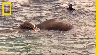 Watch: Elephant Rescued After Being Swept 10 Miles Out to Sea | National Geographic