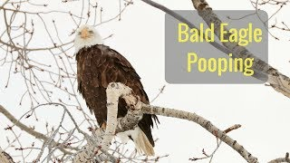 Wonderful Wyoming Wildlife - Bald Eagle Pooping