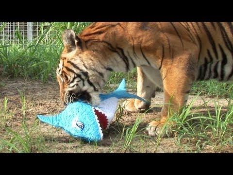TIGERS vs SHARKS!