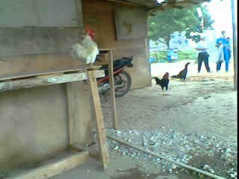 Ayam Berkokok video