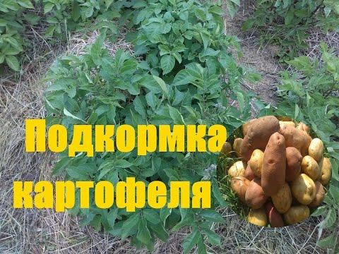 Выращивание картофеля (когда и чем подкармливать)