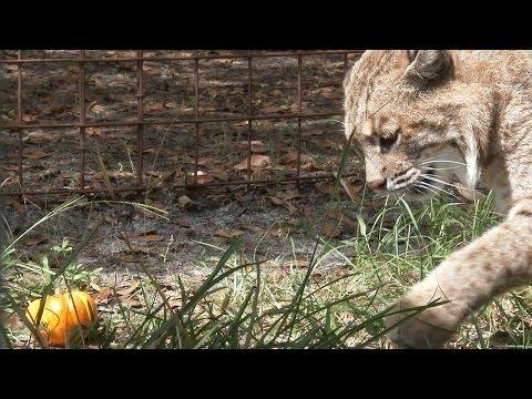 Thurston Bobcat Plays Pumpkin Soccer