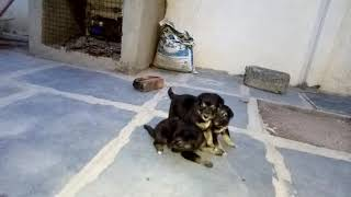 GSD PUPPIES ONE MONTH OLD PLAYING....