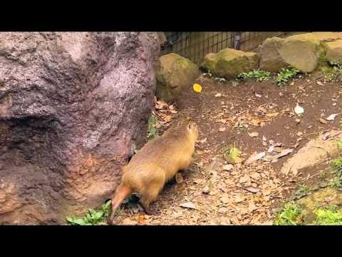 よこはま動物園ズーラシアのカピバラさん2