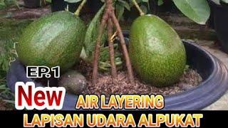 LAPISAN UDARA ALPUKAT/HOW TO AIR LAYERING AVOCADO TREES