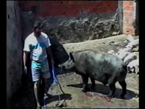 francisco ghob e atacado por porcos e javalis fim do mundo inicio da nova era.mp4