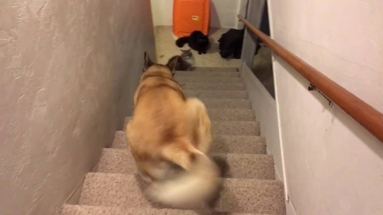 This Dog Is Terrified Of Stairs So He Came Up With A Unique Solution