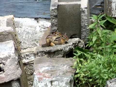 Chipmunks having sex