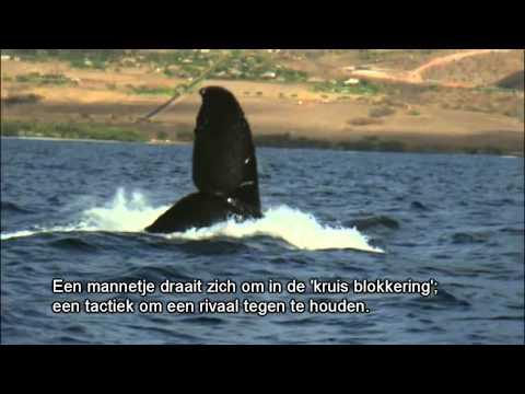 Humpback whale battle
