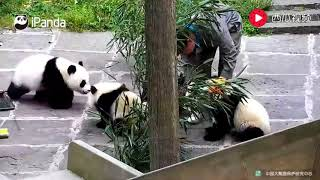 Baby Pandas 🔴 Cute and Funny Baby Panda Videos Compilation (2018.8.20)
