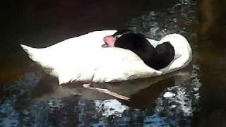 No 1 Scene From 34 Swan Lake 34