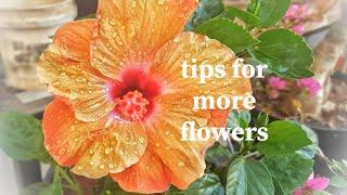 कैसे बचाये गुड़हल(HIBISCUS) को millebug से? ओर पाये ढेर सारे फुल ।  few tips for healthy  HIBISCUS.