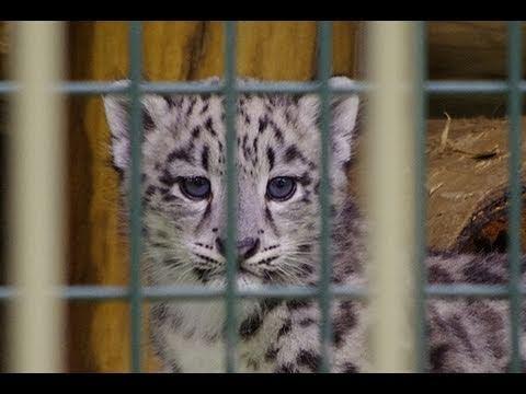 ジャンプで飛び降りるユキヒョウの赤ちゃん~Snow Leopard Baby jump