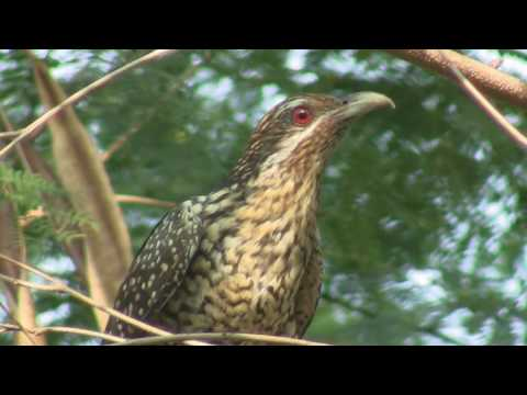 LOUD Asian Koel call and other vocalizations, male and female in video, Bangkok, Jan 2010