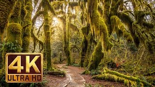 4K, Hoh Rain Forest - Nature Relaxation Video
